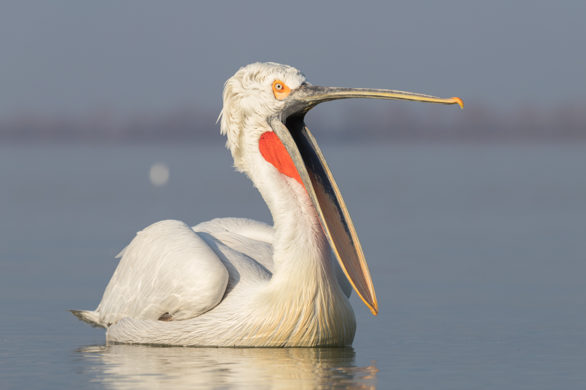 Pelikany kędzierzawe / Dalmatian pelicans, Kerkini Lake 2018 - 7