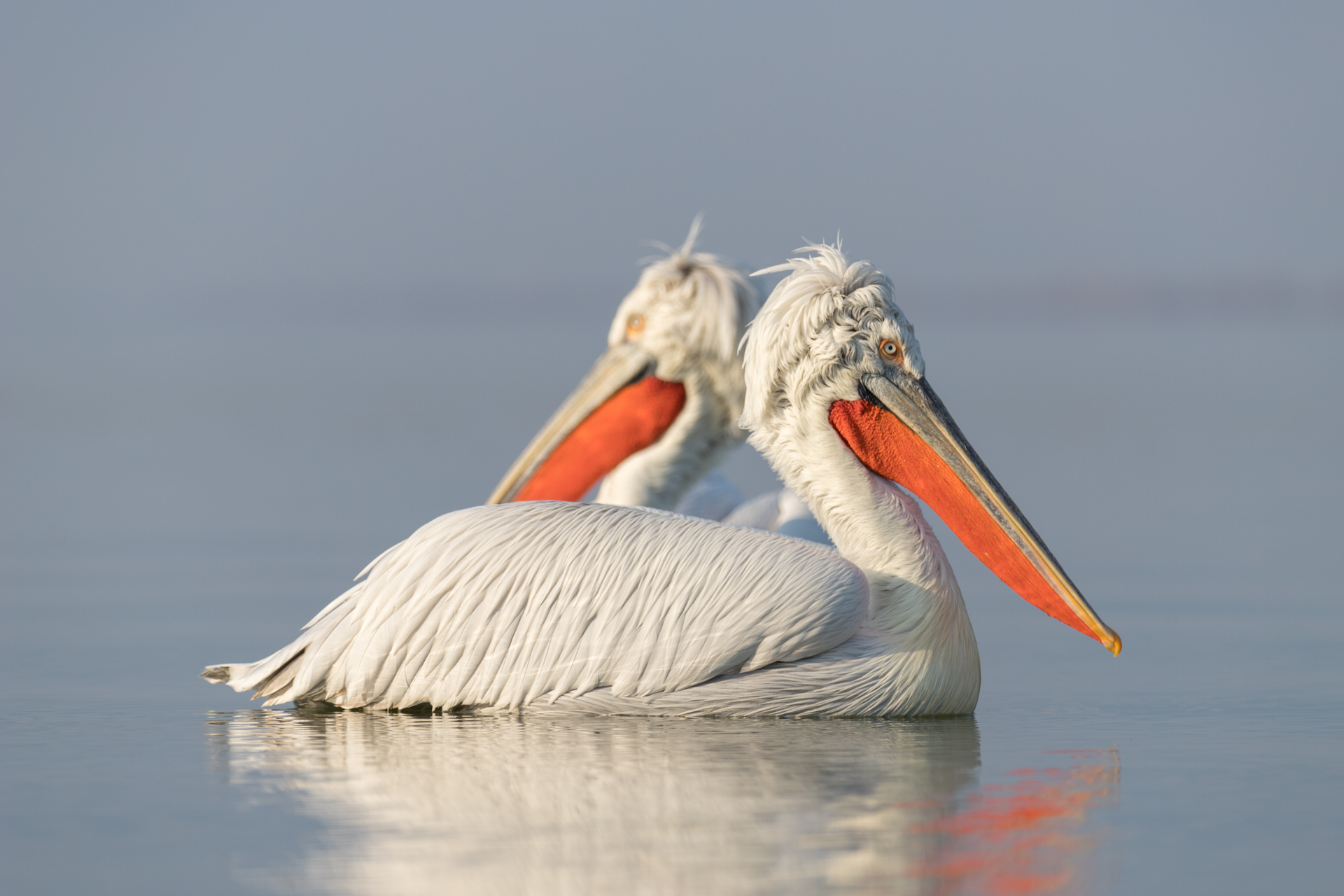 Pelikany kędzierzawe / Dalmatian pelicans, Kerkini Lake 2018 - 8