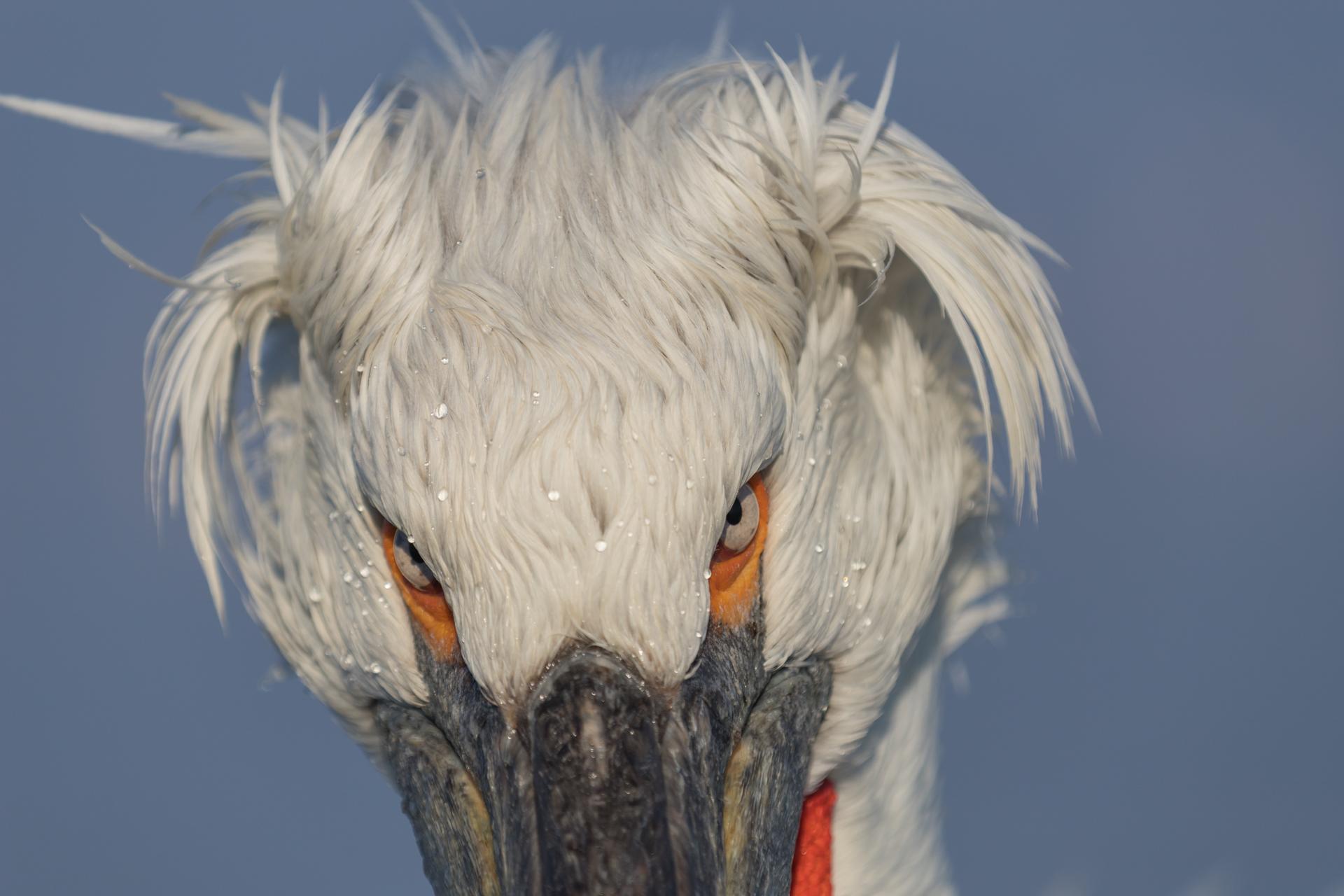 Pelikany kędzierzawe / Dalmatian pelicans, Kerkini Lake 2018 - 10