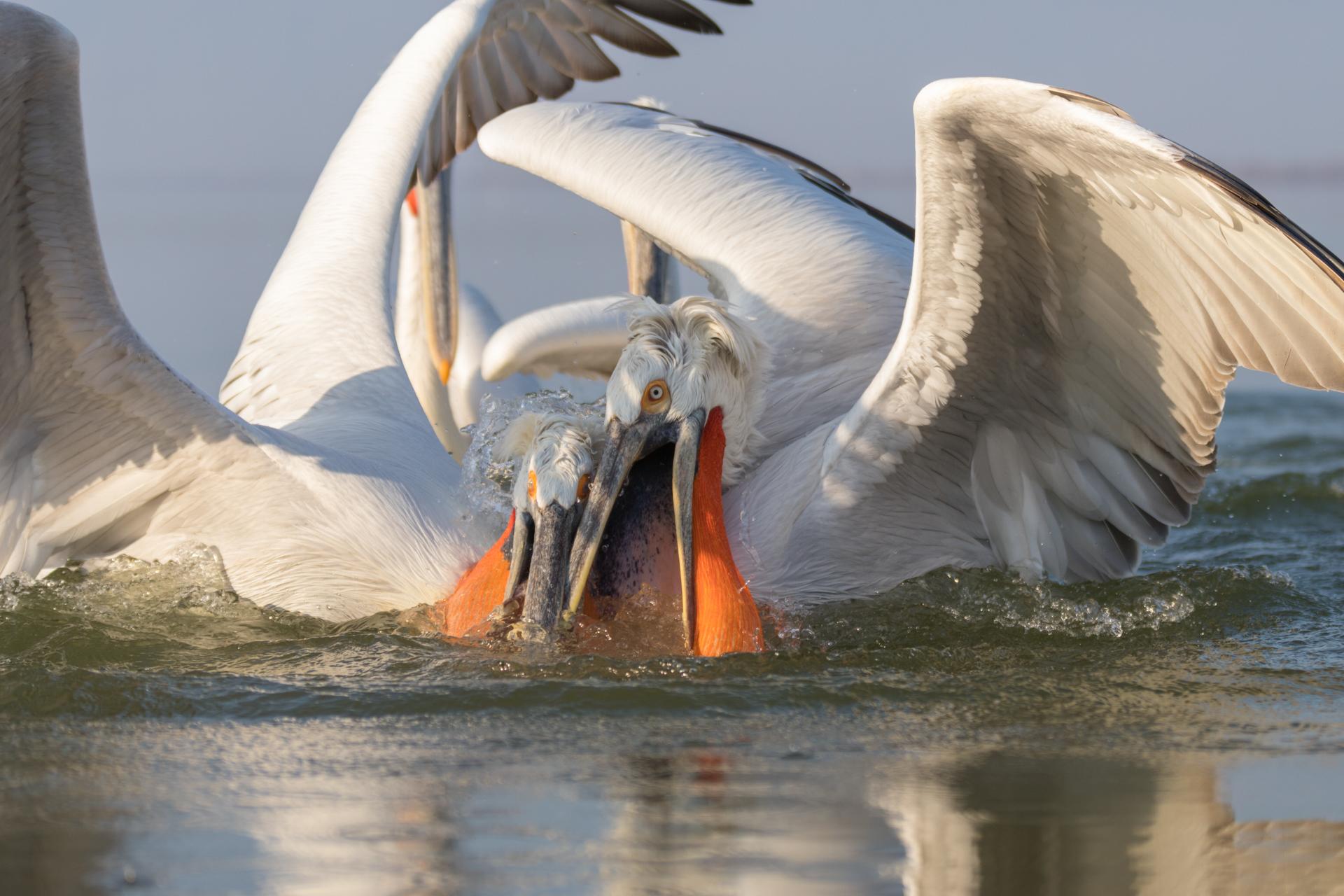Pelikany kędzierzawe / Dalmatian pelicans, Kerkini Lake 2018 - 19