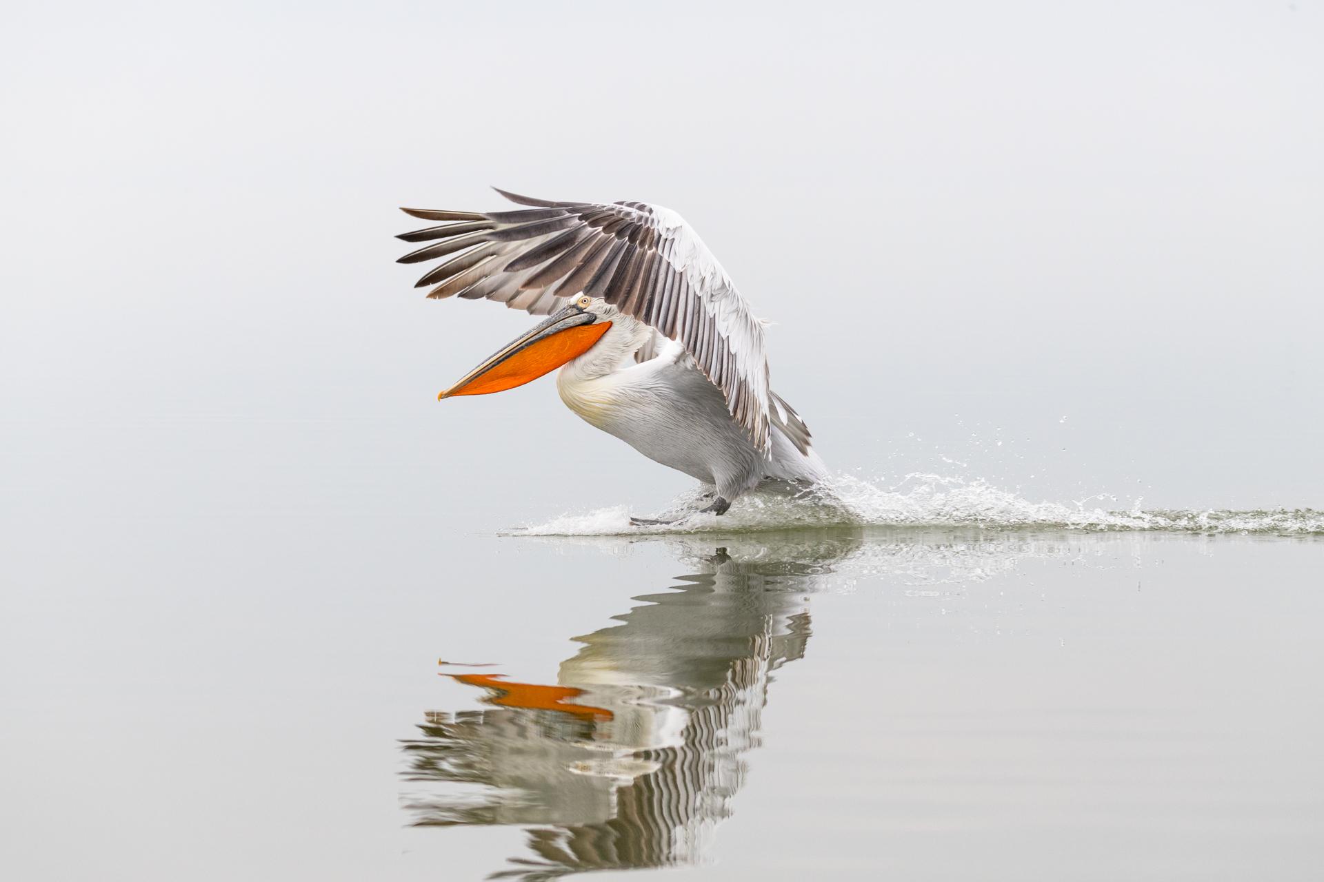 Pelikany kędzierzawe / Dalmatian pelicans, Kerkini Lake 2018 - 35