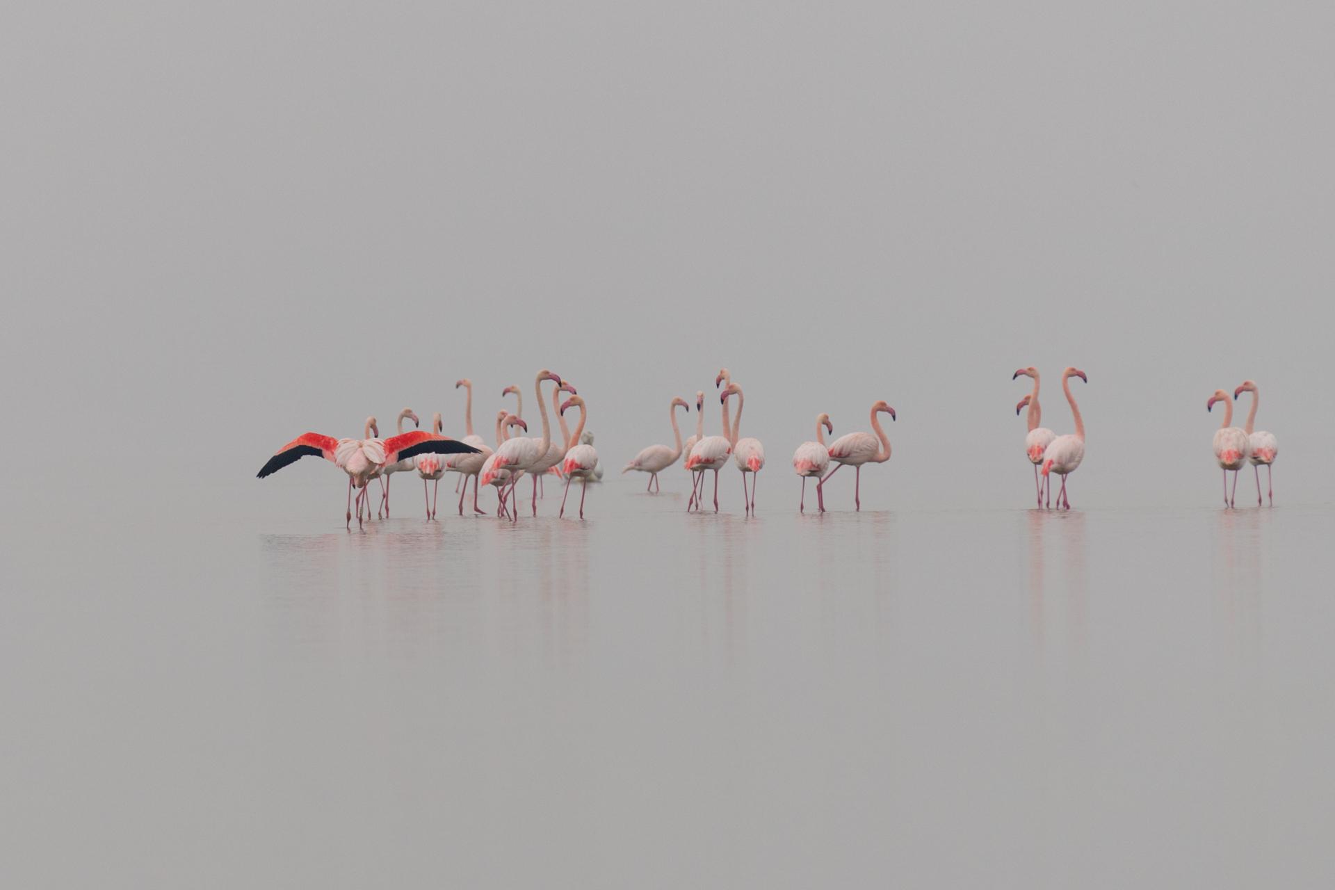 Flamingi / Flamingos, Kerkini Lake 2018 - 2