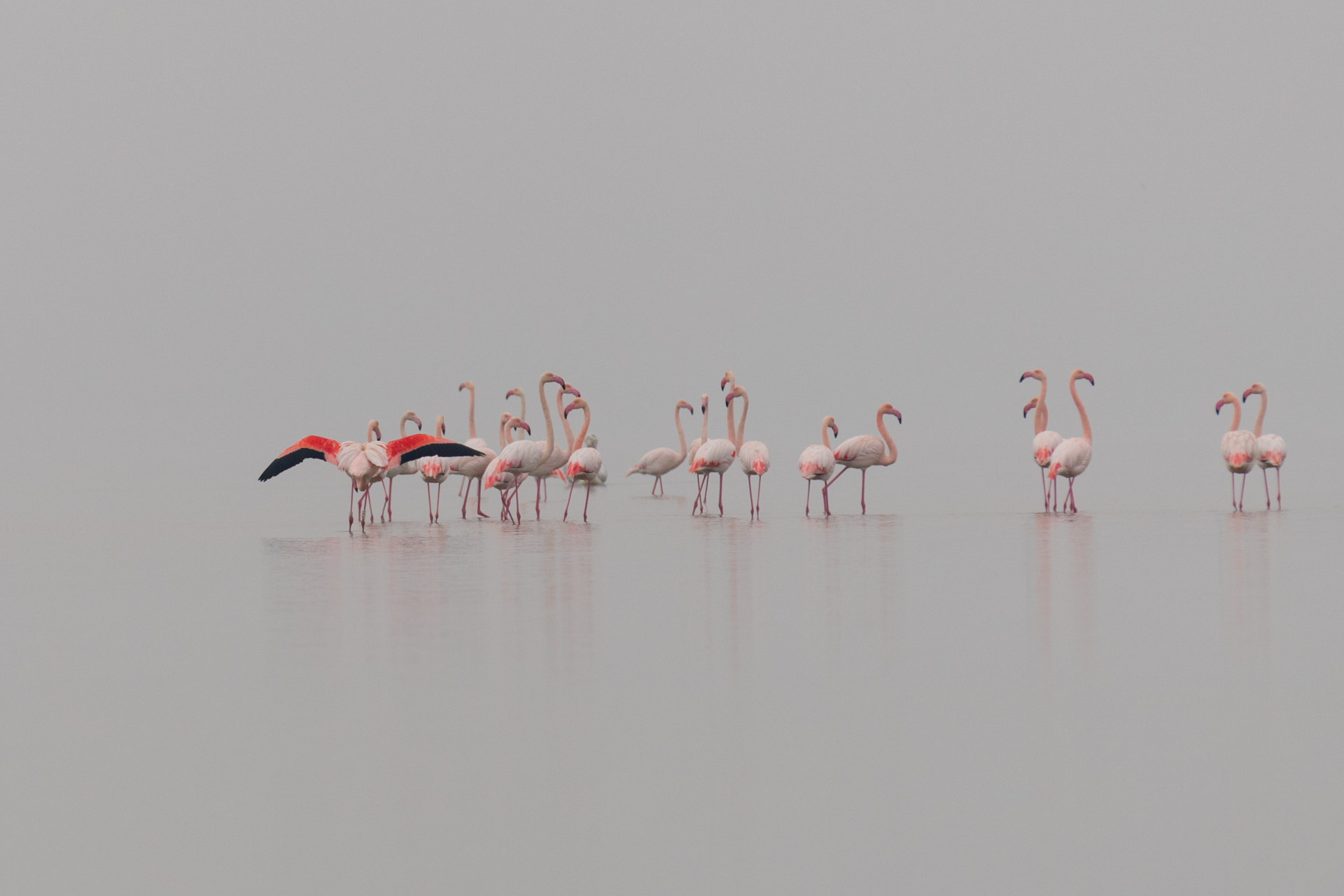 Flamingi / Flamingos, Kerkini Lake 2018 - 2